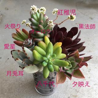 【どっさり大きめ多肉植物①】カット苗・抜き苗・挿し芽 11種セット✿(その他)