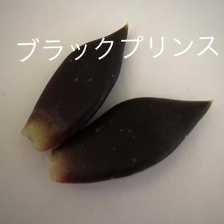 ブラックプリンス♡多肉植物(その他)