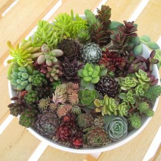 多肉植物*センペル&セダム☆寄せ植え・ミニセット☆11.5cmポット*カット苗(その他)