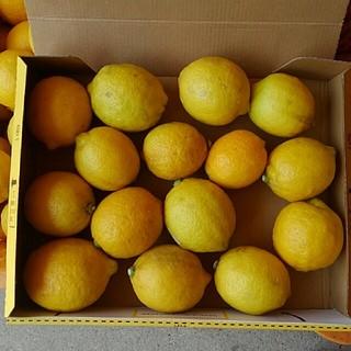 レモン無農薬2(フルーツ)