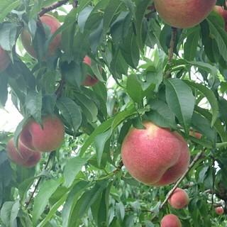 お中元ギフトに!上枝なりの甘い桃★タマキ約5キロ贈答用(フルーツ)