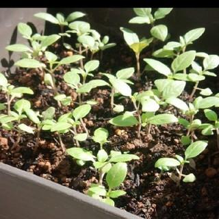 ハーブ ホーリーバジルの種200~300粒(野菜)
