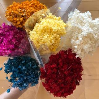 スターフラワー  マルセラ 120本  花材(ドライフラワー)