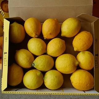 レモン無農薬(フルーツ)