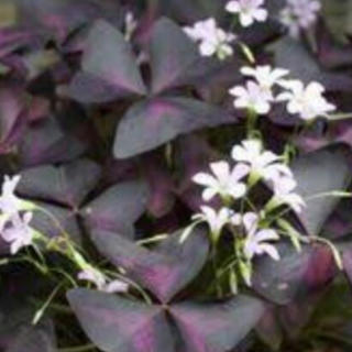 オキザリス紫の舞(その他)