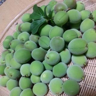 購入されてから収穫! 梅 青梅 白加賀梅 オーガニック 無農薬(フルーツ)