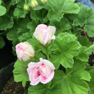 ふさま専用ページゼラニウムピンクバラ咲き(野菜)