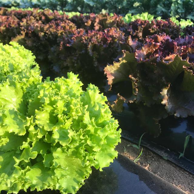 成田市産「サラダ野菜詰め合わせ」80サイズ(栽培期間中無農薬、無化学肥料) 食品/飲料/酒の食品(野菜)の商品写真