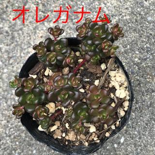 ★★オレガナム ★抜き苗★モリモリ♪♪★多肉植物★★(その他)