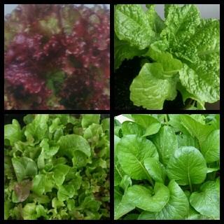 ◆超激安◆25種類*少なめ◆葉野菜の種◆(野菜)