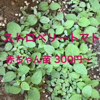 ストロベリートマトの苗2つセット(野菜)