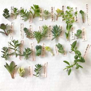 28種類♪多肉植物カット苗♪(その他)