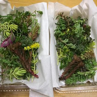 多肉植物 カット 2個セット(その他)