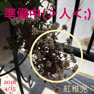 【紅稚児】カット苗(多肉植物)/ おまけ:黄麗、銘月(発根済み挿し芽)(その他)