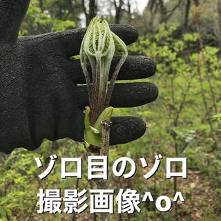 山菜 コシアブラ こしあぶら  (野菜)