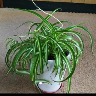 ホワイトまる様専用 ソフトオリズルラン 観葉植物(その他)