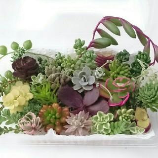 多肉植物 セダム寄せ植え  32種♪  レア入り❁  ②(その他)
