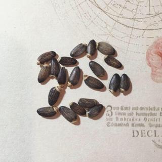 ミルクシスル(マリアアザミ )の種20粒(野菜)