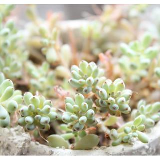ブルービーン グラプトペダルム属 6カット苗 多肉植物(その他)
