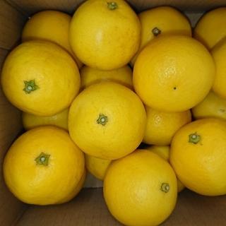 小夏 高知県産 SSサイズ 1.5kg ご家庭用 温室(フルーツ)