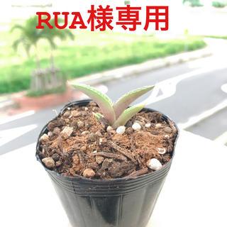 アガベ チタノータブルー(多肉植物)【抜苗2本】(その他)