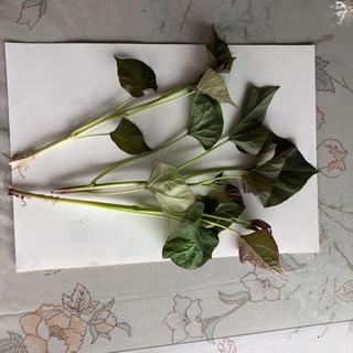 安納芋  苗  3本  無農薬(野菜)
