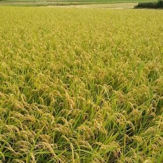 お米です! 玄米29.5㎏(米/穀物)