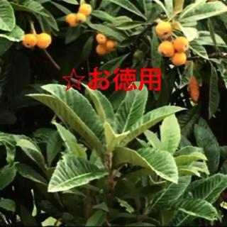 お徳用☆えひめ❤️びわの葉 無農薬 500g 100枚前後(その他)
