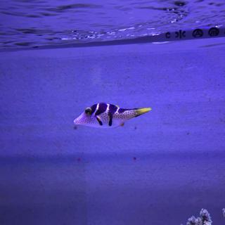 海水魚 シマキンチャクフグ Sサイズ・生体(アクアリウム)