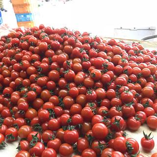 今週終了 ヘタ付きミニトマト1kg(野菜)