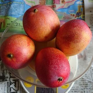 農家直送訳あり完熟マンゴー(約900g)(フルーツ)