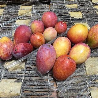 沖縄産ミニマンゴー約1キロ|「規格外」扱いになります!(フルーツ)