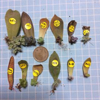 葉挿し 12種類 12枚(その他)