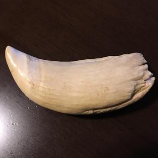 鯨の歯(その他)