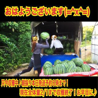 収穫朝割中♪人気漫画家様絶讃!厳選減農薬絶品ブランド西瓜超特大西瓜12kg以上1(フルーツ)