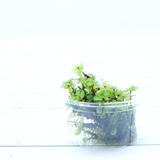 ケチョウチンゴケ 20本 テラリウム アクアテラリウム 苔 コケ(その他)