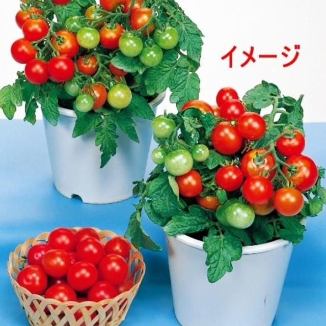 ベランダ ミニ トマト