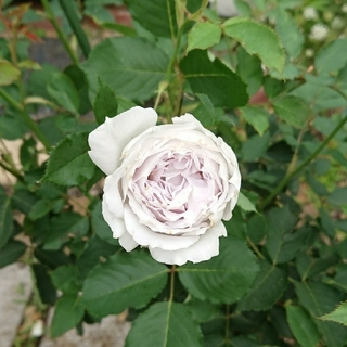 薔薇 挿し穂 3本 挿し木 バラ 淡紫 白(その他)