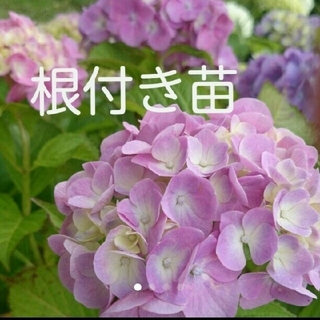 chihiron様専用 紫陽花 ピンク→紫 根付き苗 & ムスカリ球根(その他)