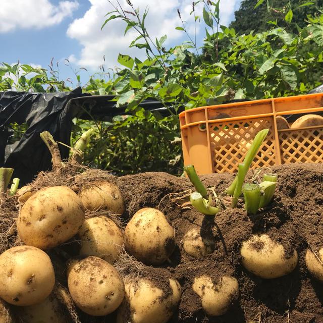 6/29発送限定価格、掘り立て新じゃがいも「キタアカリ10kg」 食品/飲料/酒の食品(野菜)の商品写真