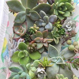 多肉植物✨カット苗✨(その他)