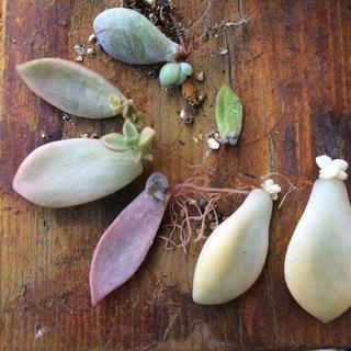 多肉植物☘錦入り✨葉挿し セット❣️(その他)