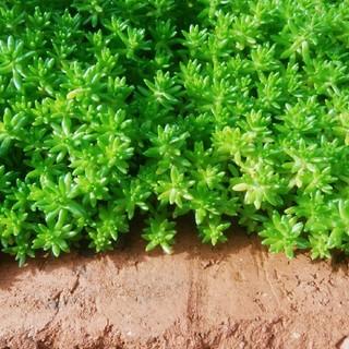セダム50本 雑草対策 グリーンカーペット(その他)