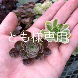 とも様専用ページです。 多肉植物(その他)
