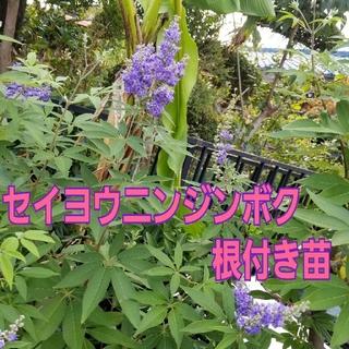 『セイヨウニンジンボク』パープル 現品 3号ポット苗 抜き苗 観葉植物 ハーブ(その他)
