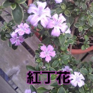 『斑入り紅丁花』ピンク花 現品 3号ピンクポット苗 抜き苗 庭木 盆栽材料(その他)