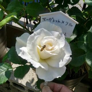 薔薇『マーガレットメリル』挿し木苗(その他)