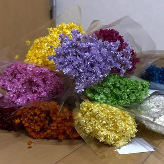 スターフラワー  マルセラ 100本 花材 ドライフラワー (ドライフラワー)