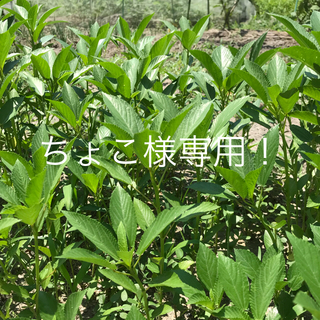 モロヘイヤ3株 500円 15cm前後(野菜)