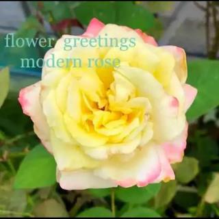 バラ モダンローズ 四季咲き 挿し穂 カット苗 3本 芳香 色が変わります(その他)